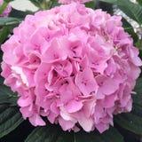 Roze hydrangea hortensia Stock Foto