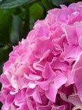 Roze hydrangea hortensia Royalty-vrije Stock Fotografie