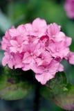 Roze hydrangea hortensia Royalty-vrije Stock Afbeelding
