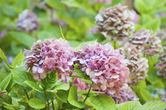 Roze hydrangea hortensia Stock Afbeelding