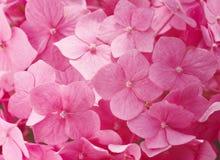 Roze hydrangea hortensia's Royalty-vrije Stock Fotografie