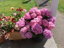 Roze hydrangea hortensia's Royalty-vrije Stock Foto's