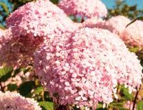 Roze hydrangea hortensiabloemen op een struik onder zon Royalty-vrije Stock Afbeelding