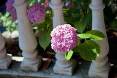 Roze hydrangea hortensiastruik royalty-vrije stock foto