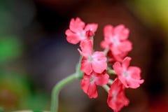 Roze ijzerkruid Royalty-vrije Stock Foto's
