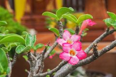 Roze impalalelie Stock Afbeelding