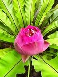 Roze Indische lotusbloem Royalty-vrije Stock Afbeeldingen