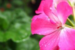 Roze installaties in de tuinfotografie royalty-vrije stock foto