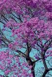 Roze ipe of roze lapacho Stock Afbeeldingen