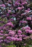 Roze ipe of roze lapacho Stock Fotografie