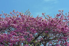 Roze ipe of roze lapacho Royalty-vrije Stock Foto
