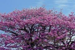 Roze ipe of roze lapacho Stock Foto's