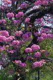 Roze ipe of roze lapacho Stock Afbeelding