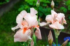Roze iris in tuin royalty-vrije stock afbeelding