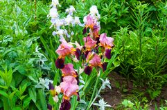 Roze iris in tuin Royalty-vrije Stock Foto