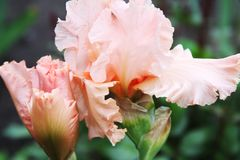 Roze Irissen die in een tuin dicht omhoog tot bloei komen royalty-vrije stock fotografie