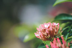 Roze ixora Royalty-vrije Stock Fotografie