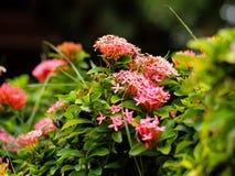 Roze Ixora-coccinea Stock Afbeelding
