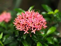 Roze Ixora-coccinea Royalty-vrije Stock Foto's