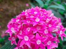 roze ixorabloemen Royalty-vrije Stock Afbeelding
