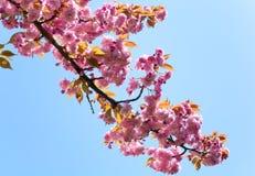Roze Japanse kersenbloesem Stock Foto