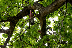 Roze Kaketoes die op een eiken boom in het Nationale Park van Yanchep zitten Royalty-vrije Stock Foto's