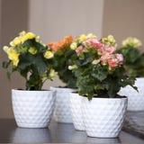 Roze Kalanchoe Royalty-vrije Stock Afbeeldingen
