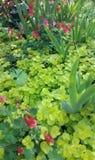 Roze kamperfoelie en irisstammen met het heldergroene kruipen groundcover Stock Foto