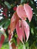 Roze kaneelbladeren Stock Afbeeldingen