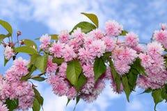 Roze kanzan kersenbloei royalty-vrije stock afbeeldingen