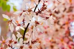 Roze kassieboom, roze douche Stock Afbeeldingen