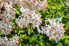 Roze Kassieboom, Roze Douche Royalty-vrije Stock Afbeeldingen