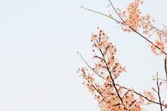 Roze kassieboom, roze doucheboom en witte hemel Royalty-vrije Stock Foto