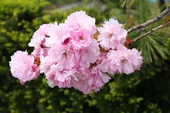 Roze kersenbloesem Stock Afbeelding