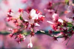 Roze kersenbloesem Royalty-vrije Stock Afbeelding