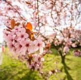 Roze kersenbloesem in de stad stock fotografie