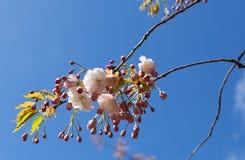 Roze kersenbloesem op blauwe hemelachtergrond Stock Afbeeldingen
