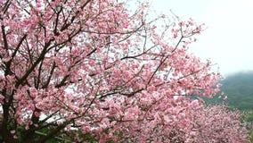 Roze kersenbloesem in tuin op het daglicht stock videobeelden