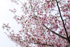 Roze kersenbloesems Stock Afbeelding