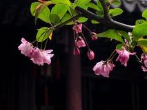 Roze kersenbloesems op een tak tegen donkere achtergrond Stock Afbeeldingen