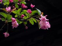 Roze kersenbloesems op een tak tegen donkere achtergrond Stock Foto
