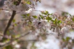 Roze kersenbloesems in volledige bloei tegen een blauwe hemel stock afbeeldingen