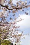 Roze kersenbloesems in volledige bloei tegen een blauwe hemel stock foto's