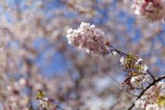Roze kersenbloesems in volledige bloei tegen een blauwe hemel stock foto