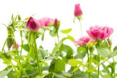 Roze kleine rozen Stock Foto's