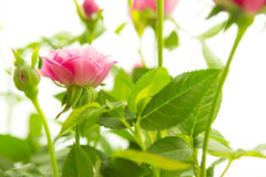 Roze kleine rozen Royalty-vrije Stock Afbeelding