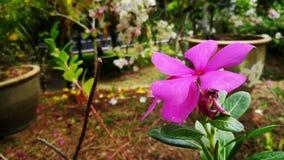 Roze in kleur Stock Fotografie