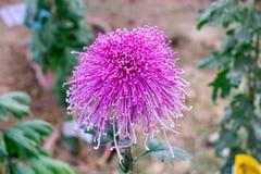 Roze kleurenbieslook of de Chrysantenbloem van de Alliumvorm Een zon het houden van flora bloeit in de vroege lente aan de recent royalty-vrije stock foto's