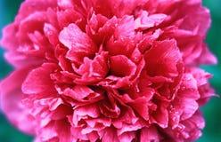 Roze Knop van pioen met het close-up van dauwdalingen stock fotografie