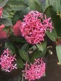 Roze Kolonie Stock Foto